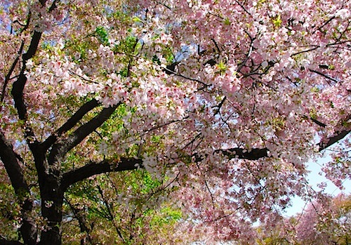 The cherry blossoms are spectacular in the brief time they bloom